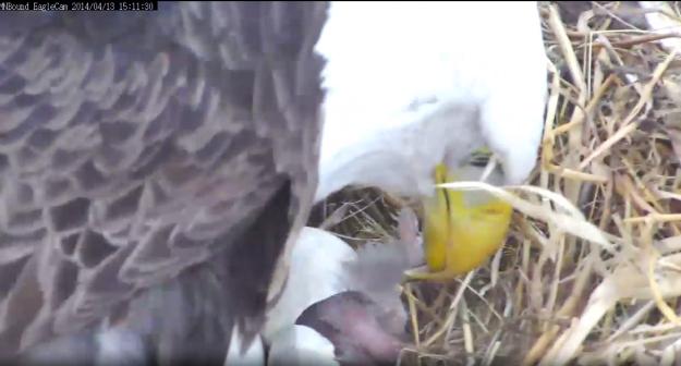 Newest Eaglet arrives at MNB Nest!