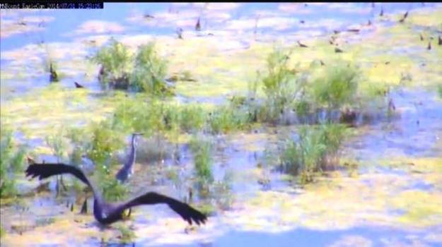Doesn't that heron know there are no fish in there??